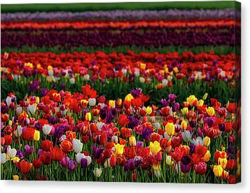 Canvas Print featuring the photograph Rows Of Tulips by Susan Candelario