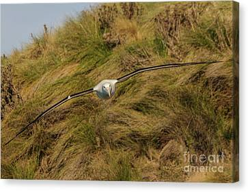 Royal Albatross 2 Canvas Print by Werner Padarin