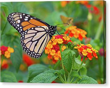 Royal Butterfly Canvas Print by Shelley Neff