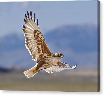 Royal Hawk Canvas Print