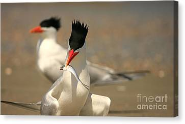 Royal Tern Catch Canvas Print