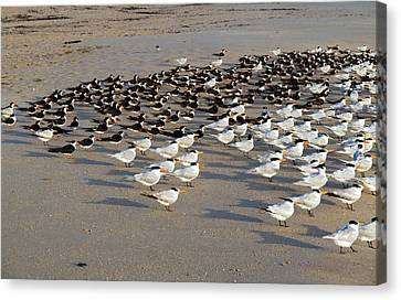 Royal Terns At Sebastian Inlet In Florida Canvas Print by Allan  Hughes
