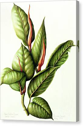Rubber Plant Canvas Print by Annabel Barrett