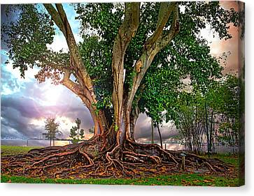 Rubber Tree Canvas Print by Mal Bray