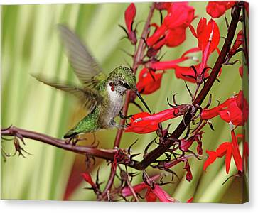 Ruby And Scarlet Canvas Print by Debbie Oppermann