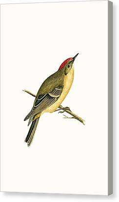 Ruby Crowned Kinglet Canvas Print by English School