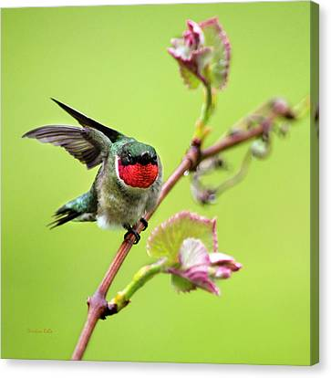 Male Hummingbird Canvas Print - Ruby Garden Hummingbird by Christina Rollo