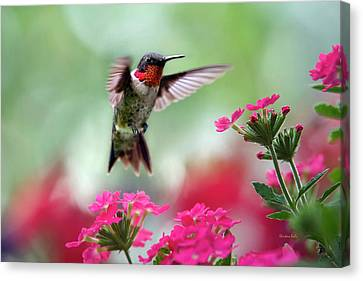 Hummingbird Canvas Print - Ruby Garden Jewel by Christina Rollo