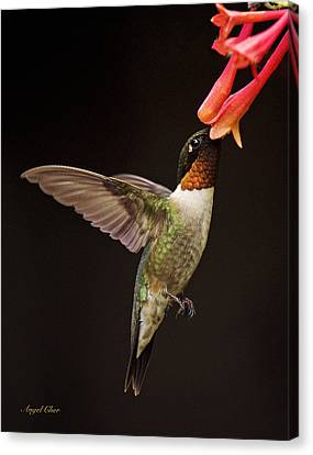 Canvas Print featuring the photograph Ruby Male by Angel Cher