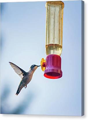 Ruby-throated Hummingbird 4 Canvas Print