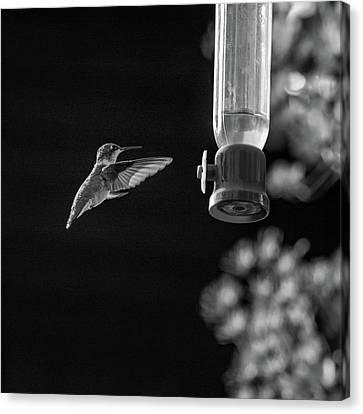 Ruby-throated Hummingbird Bw Canvas Print
