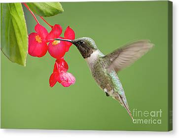 Ruby Throated Hummingbird Feeding On Begonia Canvas Print by Bonnie Barry