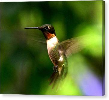 Ruby-throated Hummingbird Canvas Print by Fred Baird