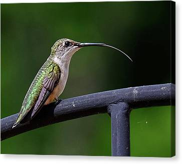 Ruby-throated Hummingbird Tongue Canvas Print