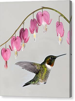 Canvas Print featuring the photograph Ruby-throated Hummingbird With Bleeding Hearts by Lara Ellis