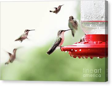 Canvas Print featuring the photograph Ruby-throated Hummingbirds by Stephanie Frey