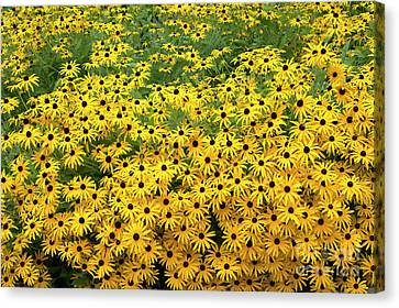 Rudbeckia Fulgida Deamii Flowers Canvas Print by Tim Gainey