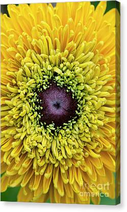 Abstracted Coneflowers Canvas Print - Rudbeckia Hirta Maya by Tim Gainey