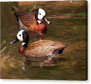 White-faced Whistling Duck Canvas Print by Chris Flees