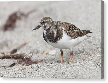 Ruddy Turnstone On The Beach Canvas Print