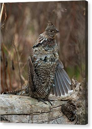 Ruffled Grouse Drumming Canvas Print by Gary Langley