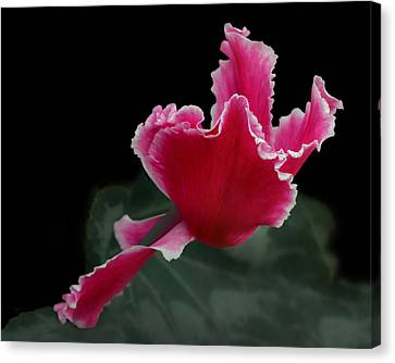 Ruffled Pink Cyclamen Canvas Print by Nikolyn McDonald