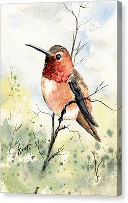 Rufous Hummingbird Canvas Print by Sam Sidders