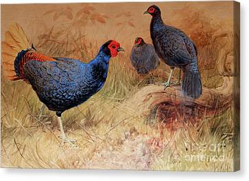 Rufous Tailed Crested Pheasant Canvas Print by Joseph Wolf