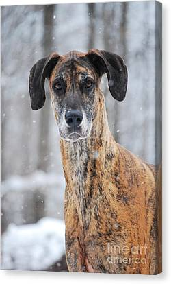 Canvas Print featuring the photograph Rufus Dagoofus Great Dane by Lila Fisher-Wenzel
