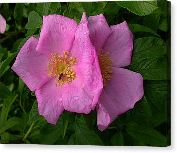 Rugosa Rose Canvas Print by Raju Alagawadi