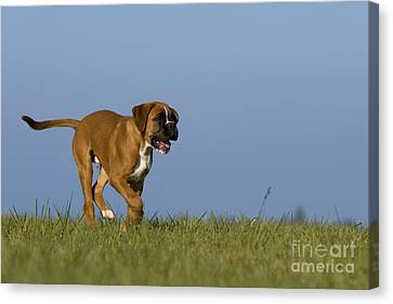 Dog At Play Canvas Print - Running Boxer Puppy by Jean-Louis Klein & Marie-Luce Hubert