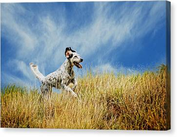 Running The Field, English Setter Canvas Print