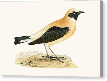 Russet Wheatear Canvas Print by English School