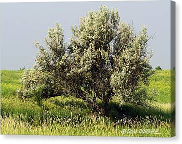 Canvas Print featuring the photograph Russian Olive On The Prairie by Don Durfee