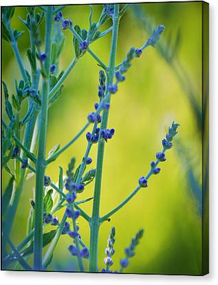 Canvas Print featuring the photograph Russian Sage by Douglas MooreZart