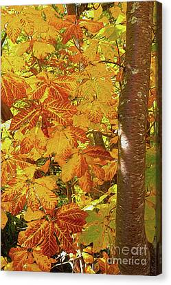Rusty Autumn Fall Color Leaves In The Blue Ridge Ap Canvas Print by Dan Carmichael