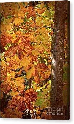 Rusty Autumn Fall Color Leaves In The Blue Ridge Canvas Print by Dan Carmichael