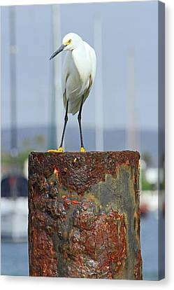 Rusty Egret Canvas Print by Shoal Hollingsworth