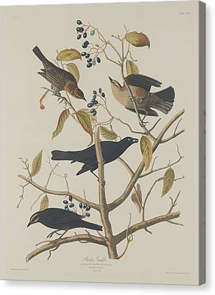 Rusty Grackle Canvas Print by Dreyer Wildlife Print Collections