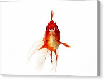 Ryukin Goldfish Carassius Auratus Canvas Print by Gerard Lacz