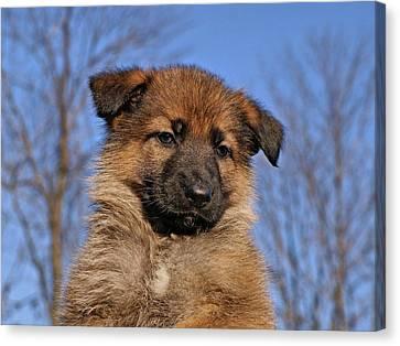Sable German Shepherd Puppy II Canvas Print by Sandy Keeton