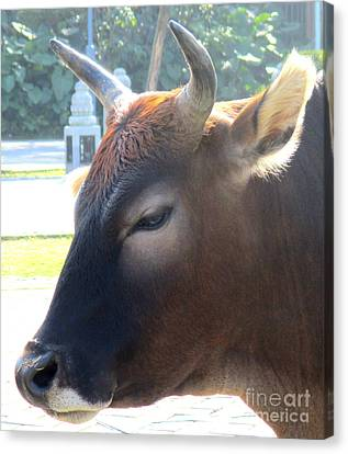 Canvas Print featuring the photograph Sacred Cow 4 by Randall Weidner