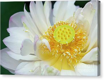 Sacred Lotus Flower Canvas Print by Tim Gainey