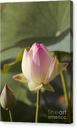 Sacred Lotus - Nelumbo Canvas Print