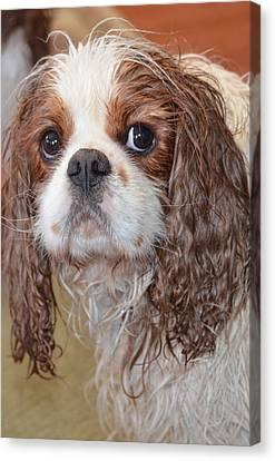 Sad After Bath Canvas Print