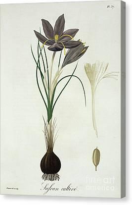 Saffron Crocus Canvas Print by LFJ Hoquart