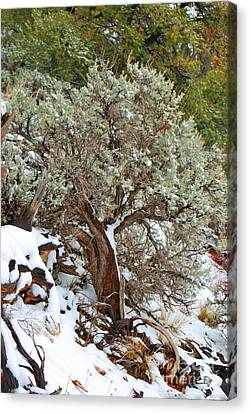 Canvas Print featuring the photograph Sage Brush Williams Arizona by Donna Greene