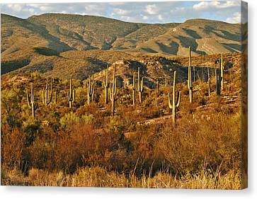 Saguaro Cactus - A Very Unusual Looking Tree Of The Desert Canvas Print by Christine Till