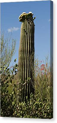 Canvas Print featuring the photograph Saguaro Cactus by Daniel Hebard