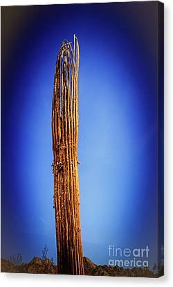 Saguaro Skelton Canvas Print by Robert Bales
